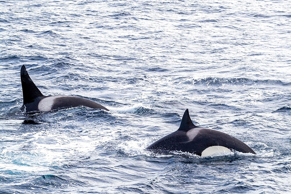 Killer whales (Orcinus orca), power-lunging while feeding on fish along the coast of eastern Greenland, Polar Regions - 1112-5859