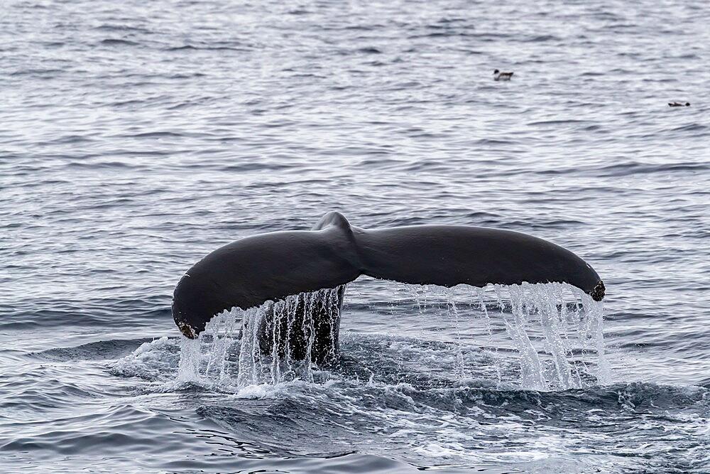 Humpback whale (Megaptera novaeangliae), flukes-up diving in Mackenzie Bay, Greenland Sea, Greenland, Polar Regions - 1112-5866