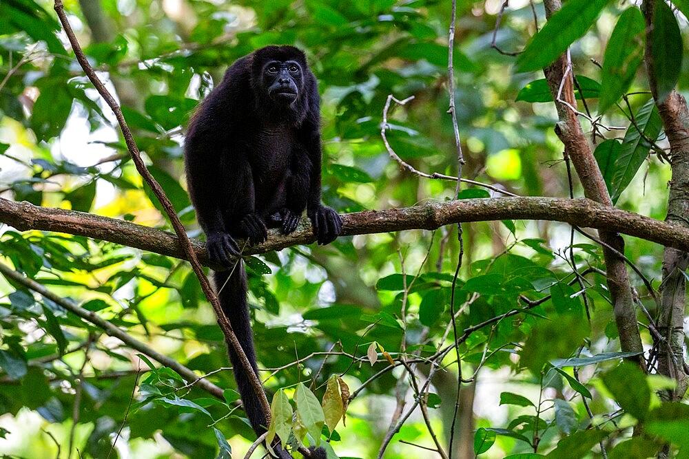 Adult mantled howler (Alouatta palliata), Barro Colorado Island, Gatun Lake, Panama, Central America - 1112-5874