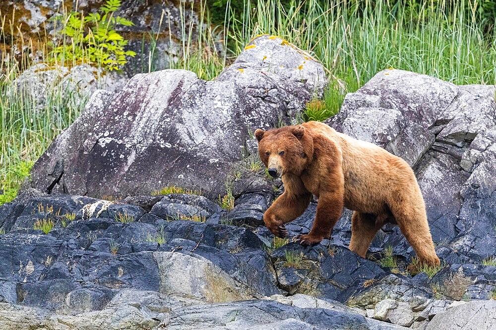 Adult brown bear (Ursus arctos), foraging at low tide in Glacier Bay National Park, Alaska, United States of America, North America - 1112-5894