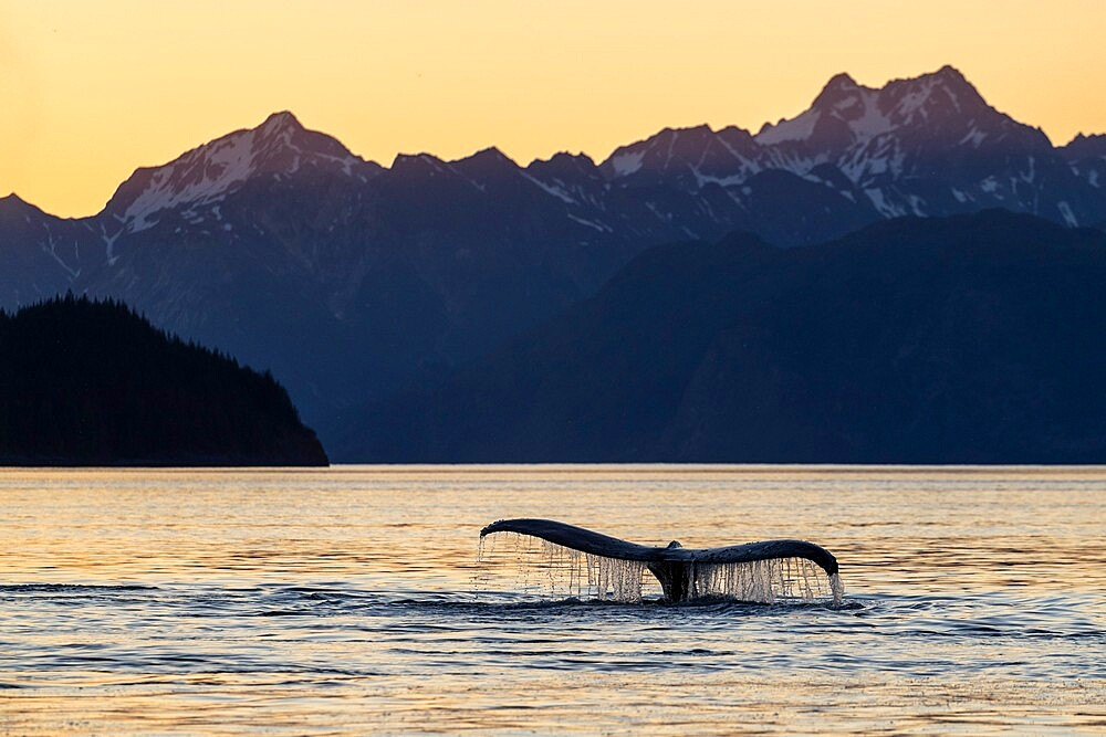 Adult humpback whale (Megaptera novaeangliae), flukes-up dive at sunset in Glacier Bay National Park, UNESCO World Heritage Site, Alaska, United States of America, North America - 1112-5899