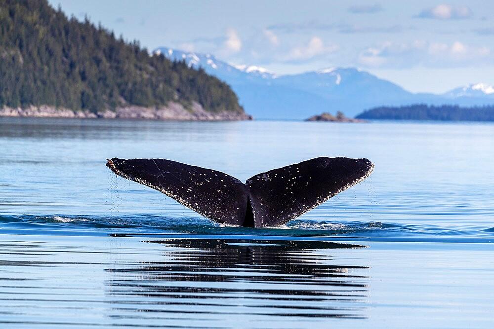 Adult humpback whale (Megaptera novaeangliae), flukes-up dive in Glacier Bay National Park, UNESCO World Heritage Site, Alaska, United States of America, North America - 1112-5902