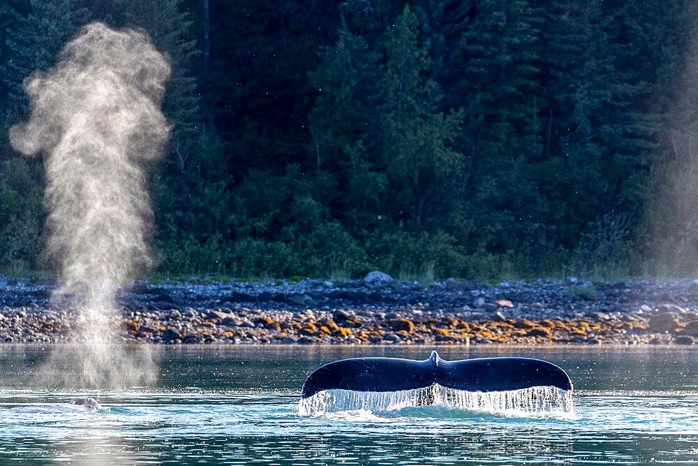 Adult humpback whale (Megaptera novaeangliae), flukes-up dive in Glacier Bay National Park, UNESCO World Heritage Site, Alaska, United States of America, North America - 1112-5903