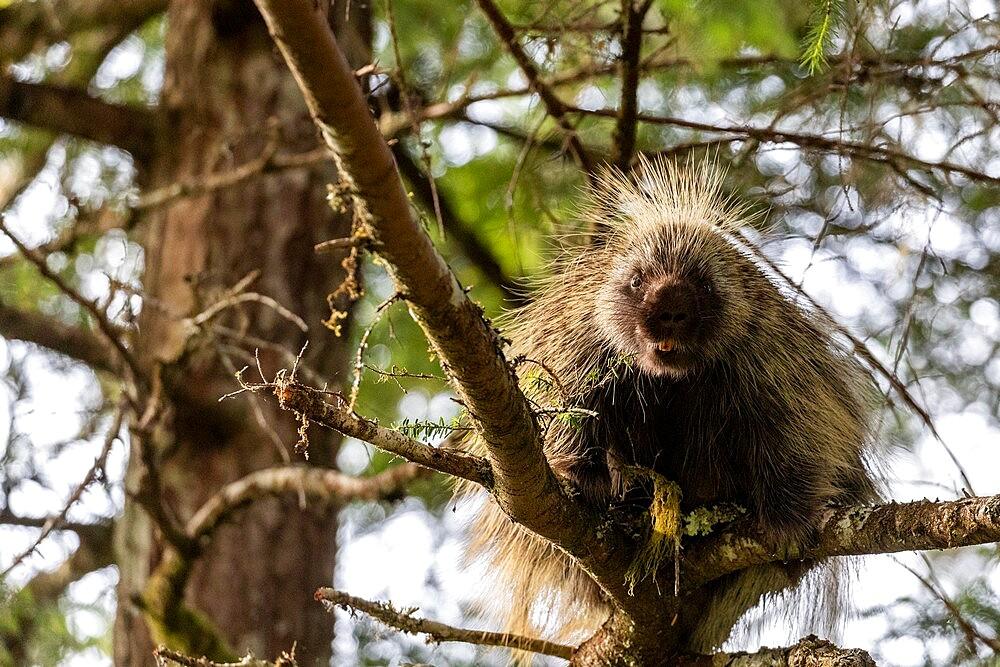 Adult North American porcupine (Erethizon dorsatum), climbing a tree, Glacier Bay National Park, Alaska, United States of America, North America - 1112-5906