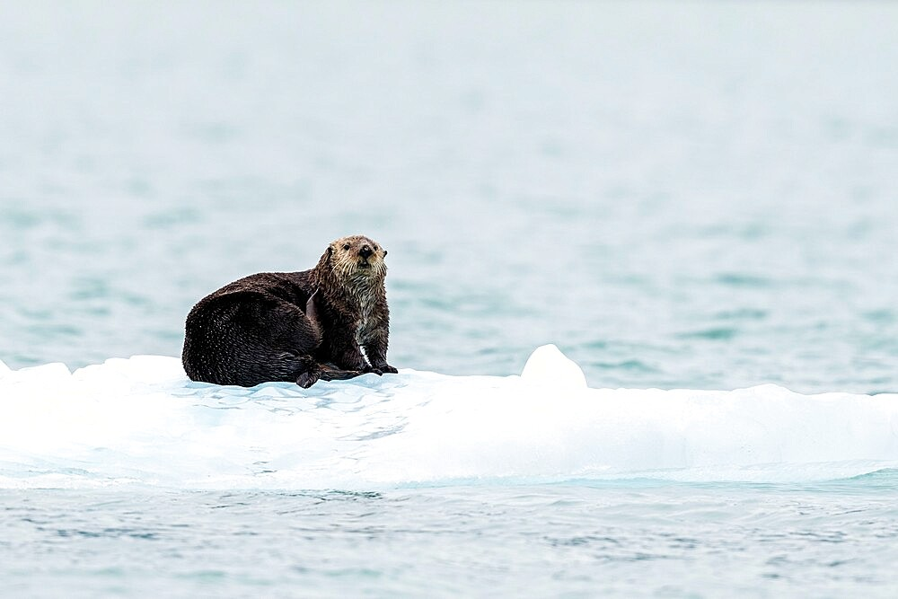 Adult female sea otter (Enhydra lutris), hauled out on ice in Glacier Bay National Park, Southeast Alaska, United States of America, North America - 1112-5909