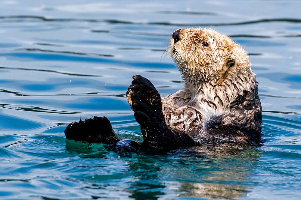 An adult sea otter (Enhydra lutris), swimming in Glacier Bay National Park, Southeast Alaska, United States of America, North America - 1112-5910