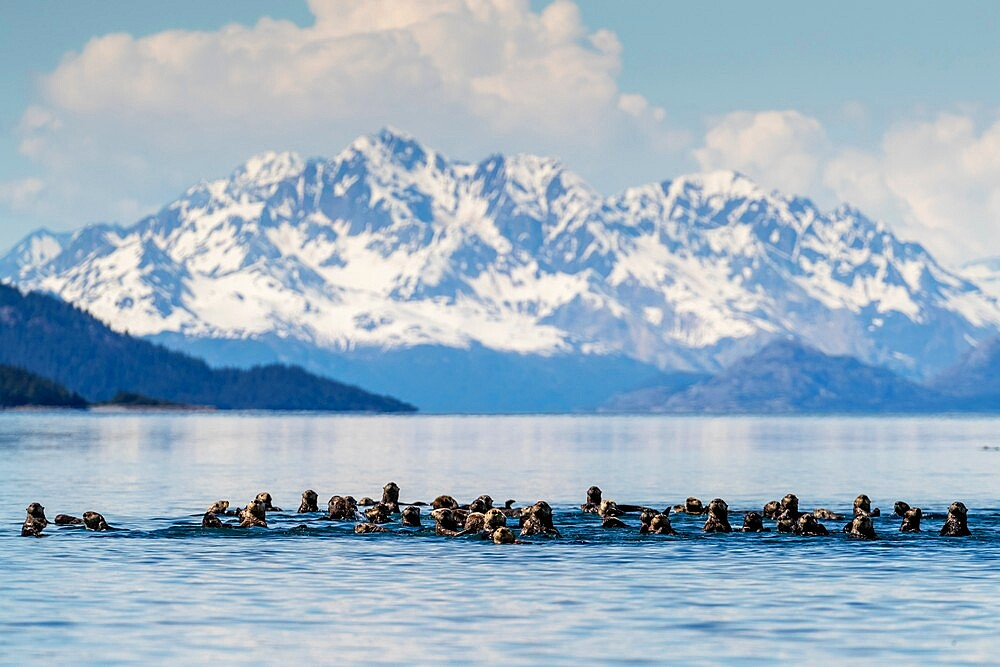 Sea otters (Enhydra lutris), in the Beardslee Island Group in Glacier Bay National Park, UNESCO World Heritage Site, Southeast Alaska, United States of America, North America - 1112-5911