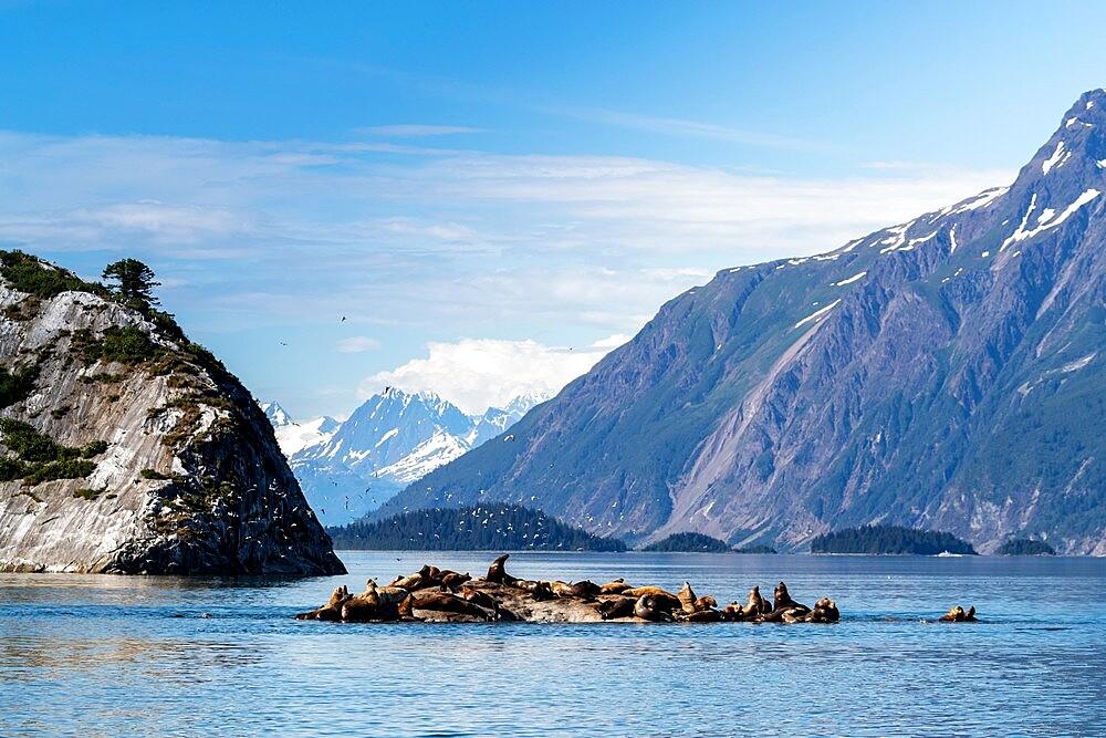 Steller sea lion (Eumetopias jubatus), haul out site, South Marble Islands, Glacier Bay National Park, UNESCO World Heritage Site, Alaska, United States of America, North America - 1112-5912