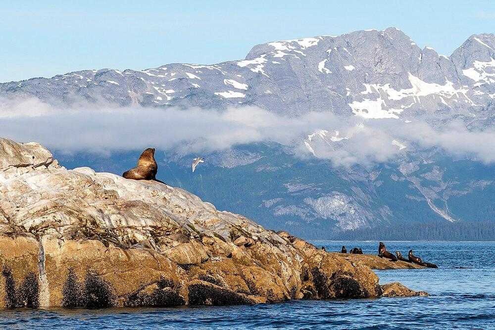 Steller sea lion (Eumetopias jubatus), haul out site, South Marble Islands, Glacier Bay National Park, UNESCO World Heritage Site, Alaska, United States of America, North America - 1112-5913