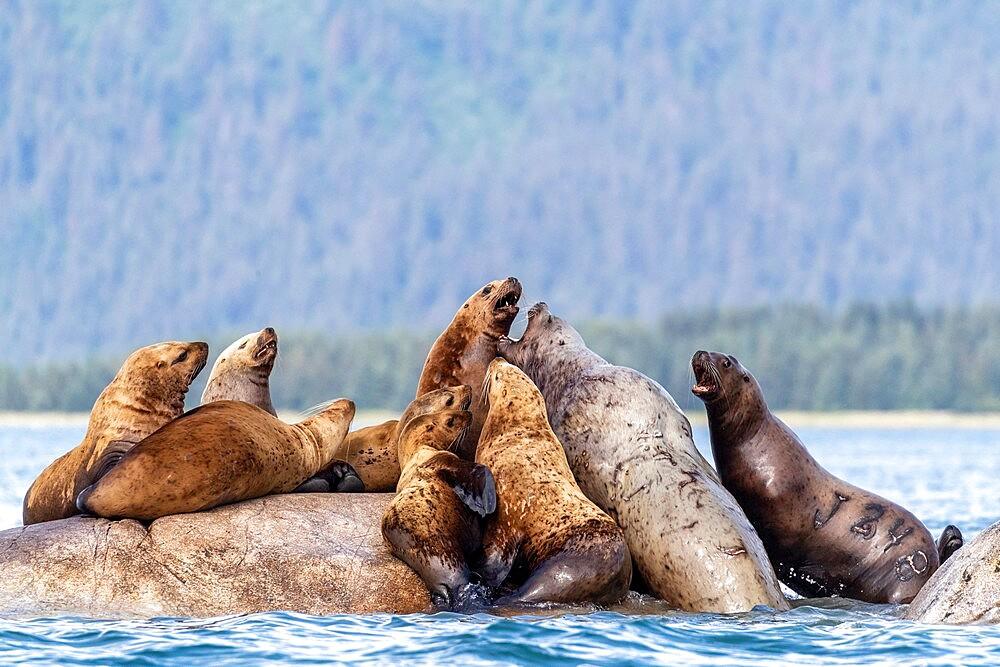 Steller sea lions (Eumetopias jubatus), haul out site, South Marble Islands, Glacier Bay National Park, UNESCO World Heritage Site, Alaska, United States of America, North America - 1112-5914