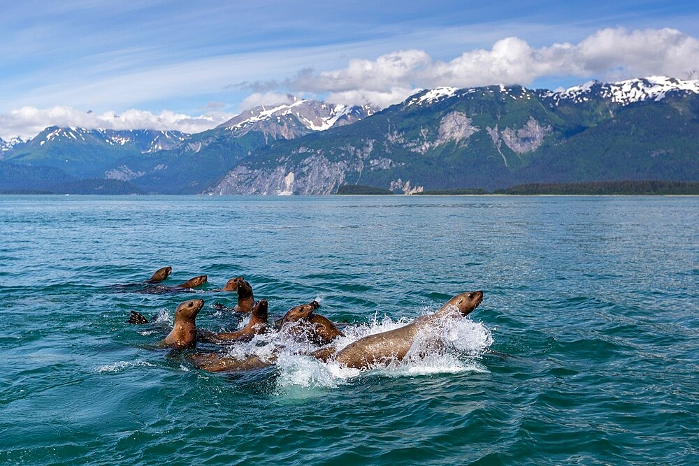 Curious Steller sea lions (Eumetopias jubatus), South Marble Islands, Glacier Bay National Park, UNESCO World Heritage Site, Alaska, United States of America, North America - 1112-5916