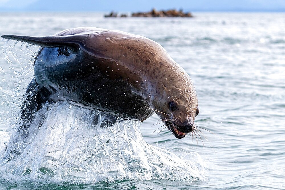 Adult Steller sea lion (Eumetopias jubatus), leaping, South Marble Islands, Glacier Bay National Park, Alaska, United States of America, North America - 1112-5917