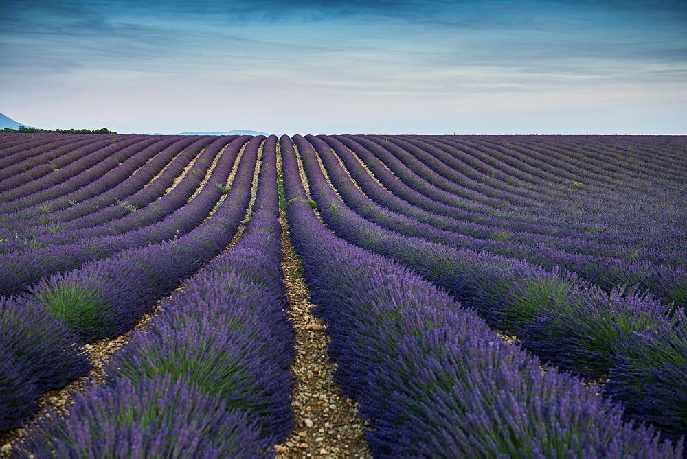 lavender field, near Valensole, Plateau de Valensole, Alpes-de-Haute-Provence department, Provence, France - 1113-104522