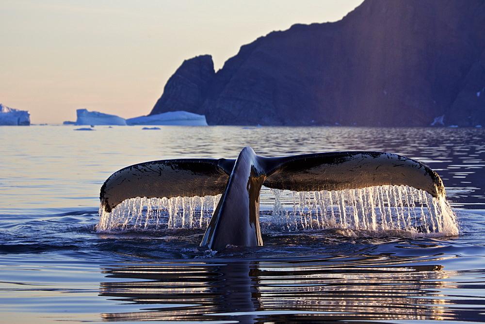 Fluke of a diving humpback whale, Megaptera novaeangliae, East Greenland, Greenland - 1113-104560