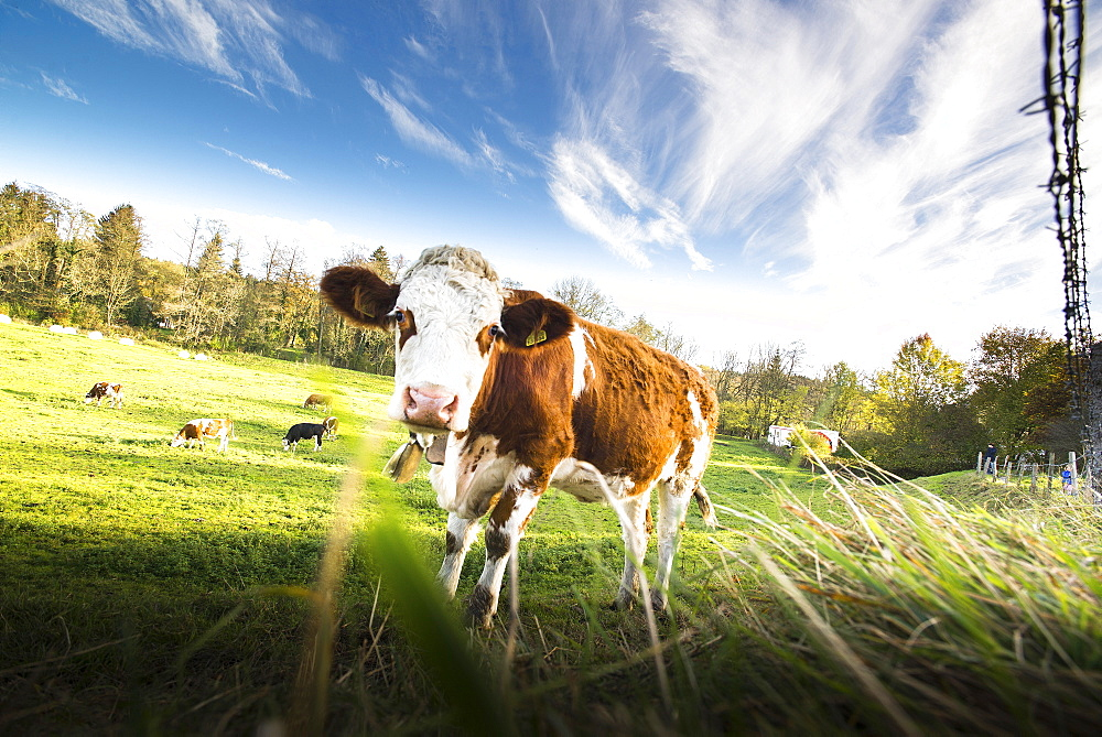 Calf standing on a meadow at a fence and looking, Gauting, Bavaria, Germany - 1113-104773