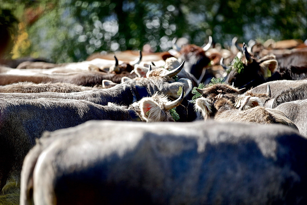 Cattle at traditional Viehscheid, Allgau, Bavaria, Germany - 1113-104804
