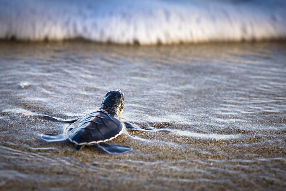 Baby green turtle shortly before getting overrun by a wave, Java, Indonesia - 1113-105037