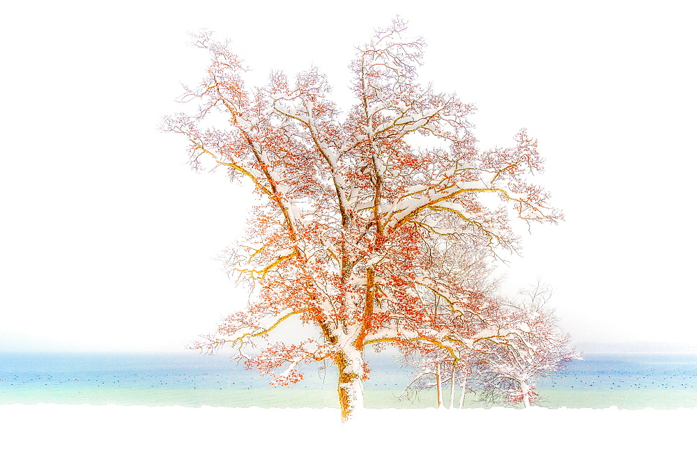 Snow-covered, leafy tree on the shore of Lake Starnberg, Tutzing, Bavaria, Germany - 1113-105256