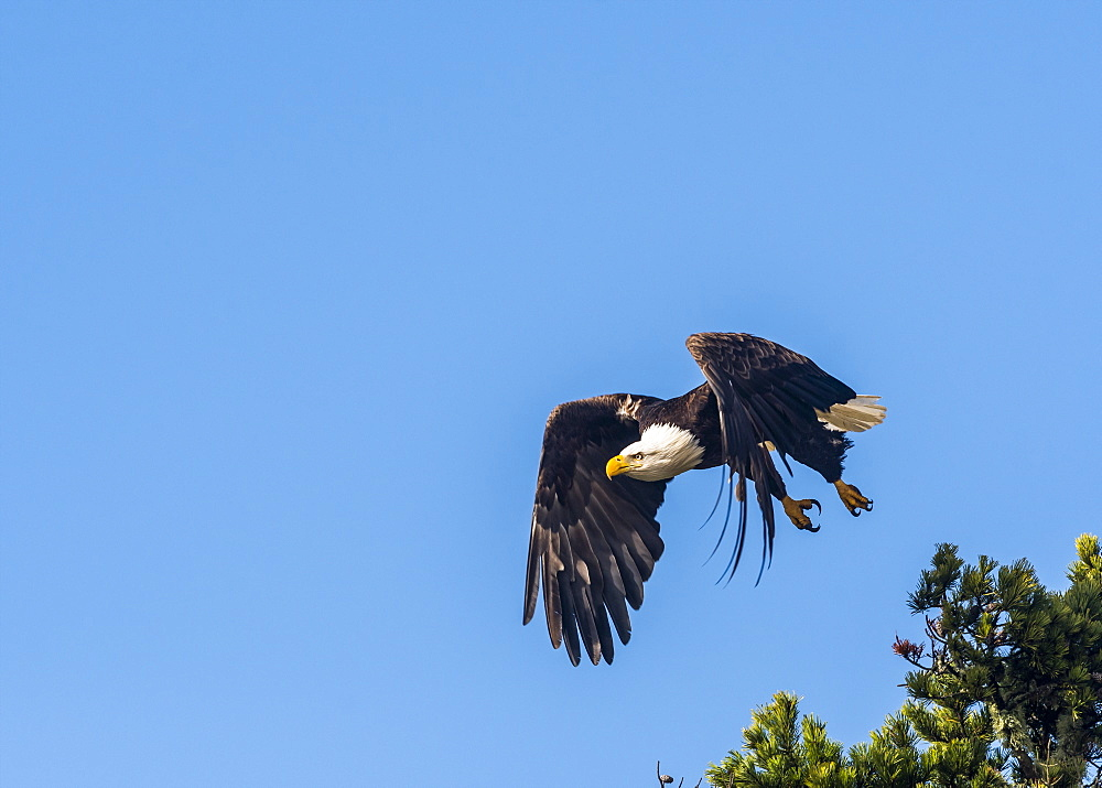 A Bald eagle (Haliaeetus leucocephalus) flies in a blue sky on the Oregon Coast, Hammond, Oregon, United States of America