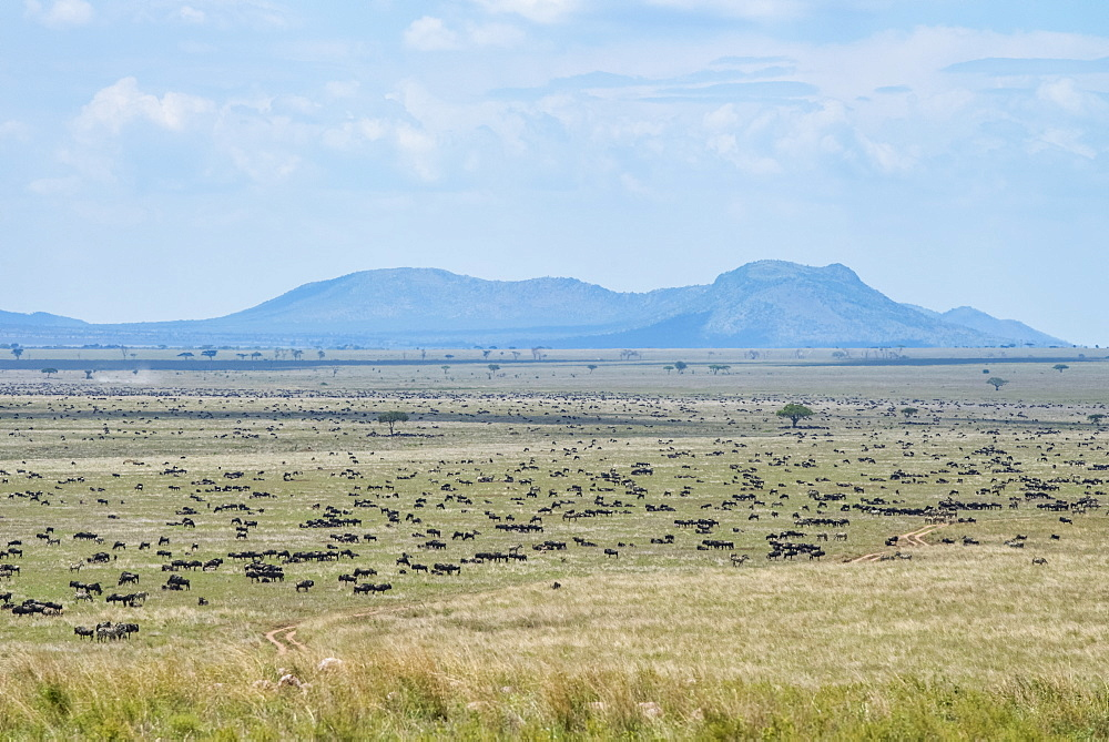Large herd of Wildebeest (Connochaetes taurinus) spread across the plains in Serengeti National Park, Tanzania