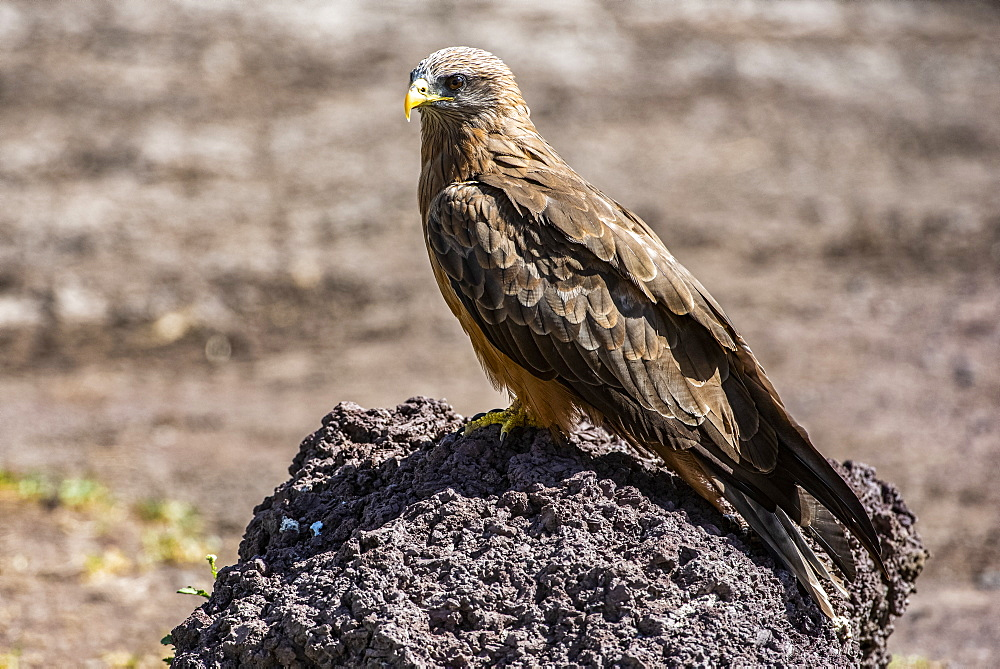 Yellow-billed Kite (Milvus aegyptius) perched on stone in Ngorongoro Crater, Ngorongoro Conservation Area, Tanzania