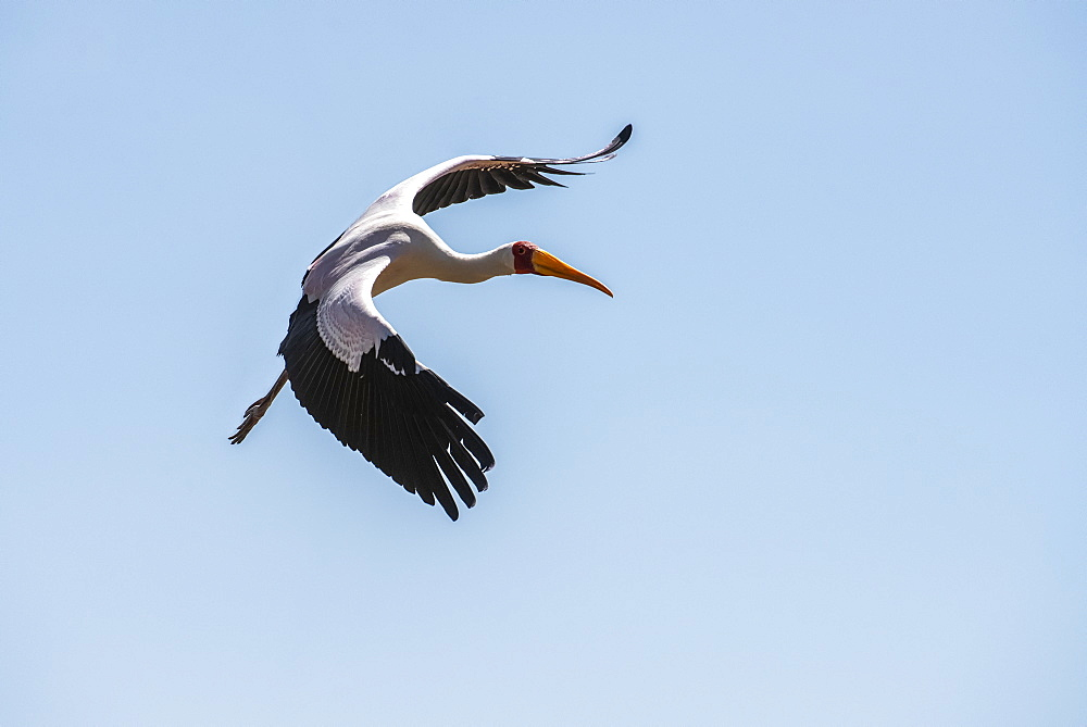Yellow-billed Stork (Mycteria ibis) in flight in a blue sky at Lake Manyara National Park, Tanzania