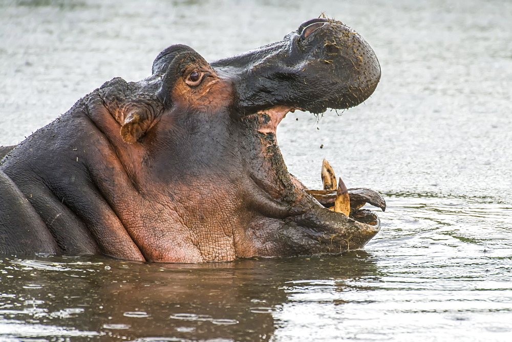 Side-view head shot of yawning Hippopotamus (Hippopotamus amphibius) in Ngorongoro Conservation Area, Tanzania