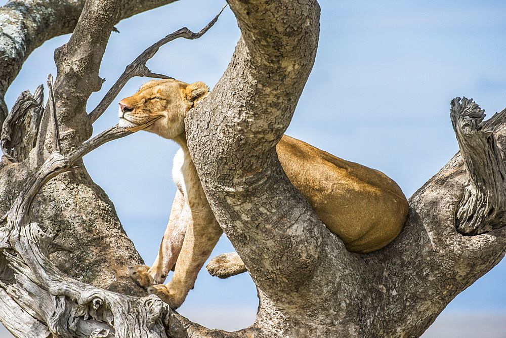 Adult Lioness (Panthera leo) rests her head on a branch while perched in a tree in Serengeti National Park, Tanzania