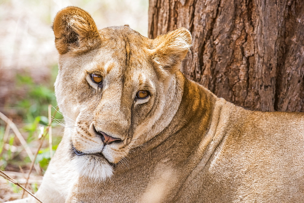 Close-up of female Lion (Panthera leo) resting near tree in Tarangire National Park, Tanzania