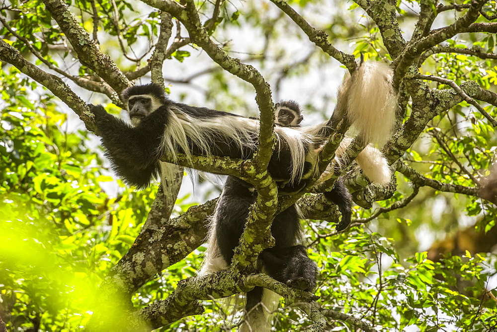 Black-and-white Colobus Monkeys (Colobus guereza) relaxing on tree branches at Ngare Sero Mountain Lodge, near Arusha, Tanzania