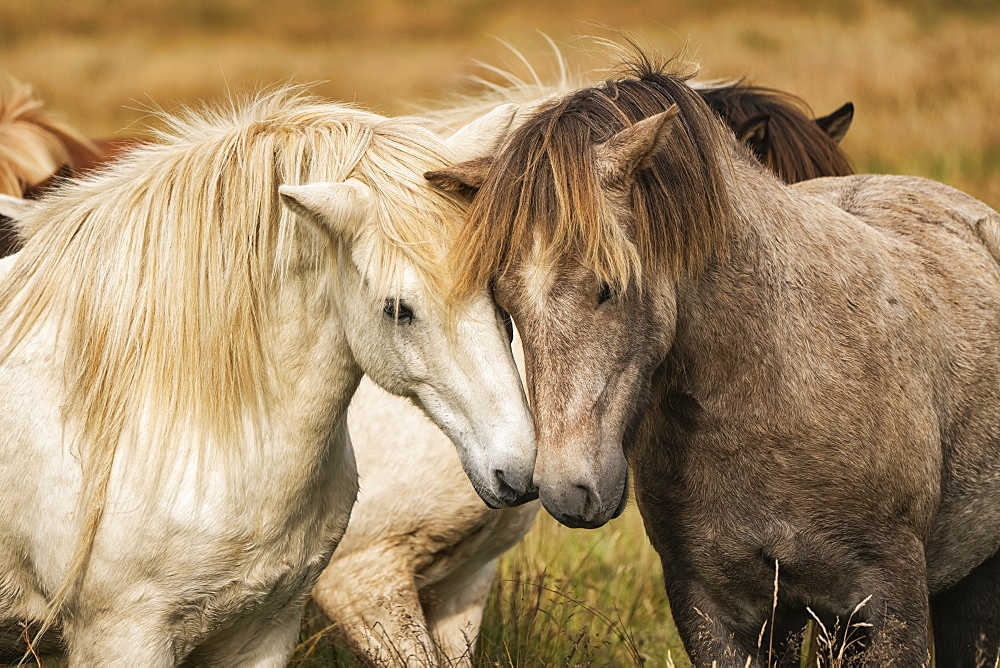 Icelandic horses in their natural setting, Iceland - 1116-47327