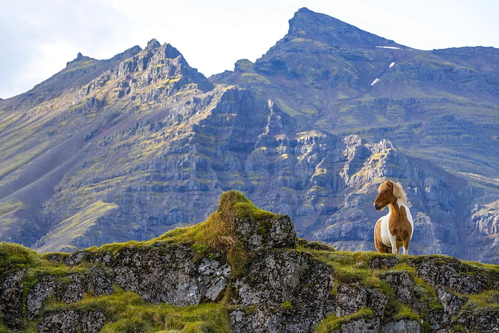 Icelandic horse in the rugged landscape of Iceland, Iceland