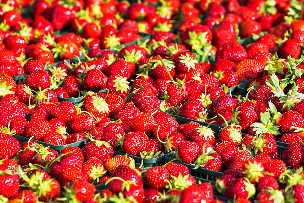 Close-up of baskets of fresh picked strawberries, Port Colborne, Ontario, Canada