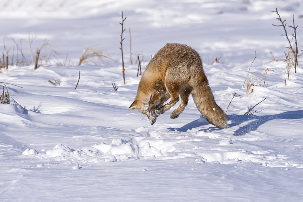 Red Fox (Vulpes vulpes) in mid-air jumping over the snow, Hokkaido, Japan