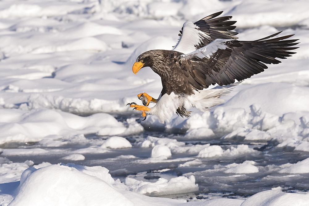Stellar's sea eagle (Haliaeetus pelagicus) in flight, about to land on the ice and snow, Hokkaido, Japan