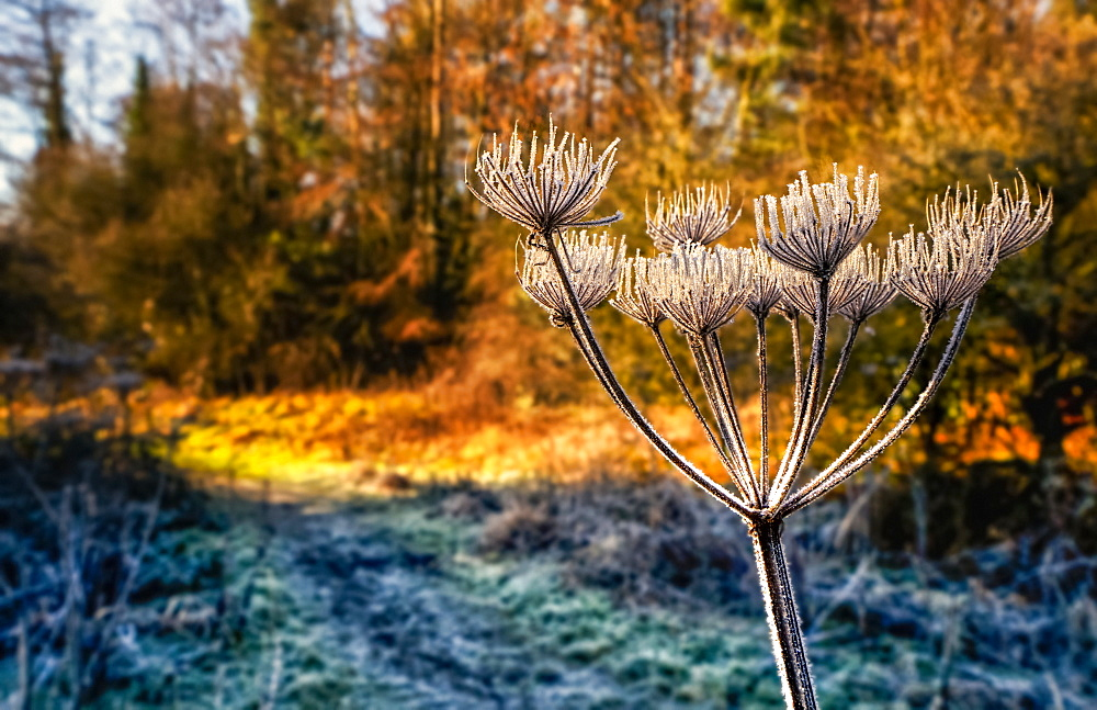 Frost-covered plant in the foreground with autumn coloured foliage in a forest in the background, Penshaw, Tyne and Wear, England