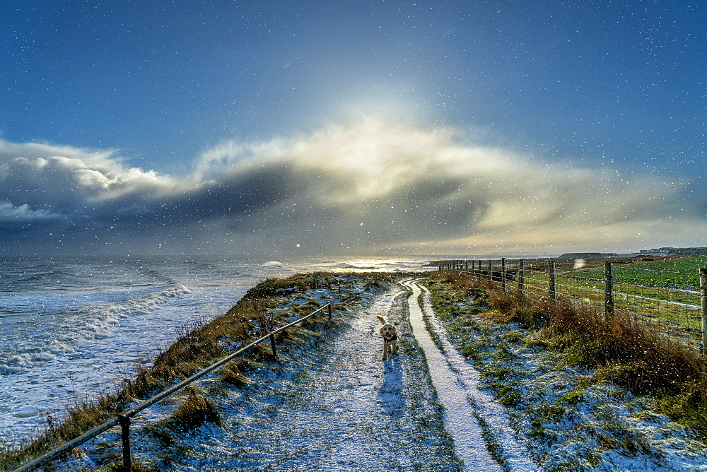 Dog walking on a snowy path along the coast, South Shields, Tyne and Wear, England