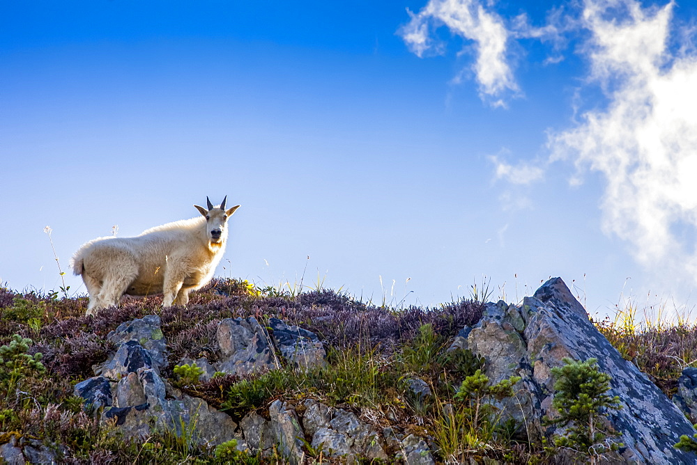 Mountain goat (Oreamnos americanus) on ridge backlit by sun, High Divide Trail, Olympic National Park, Washington, United States of America