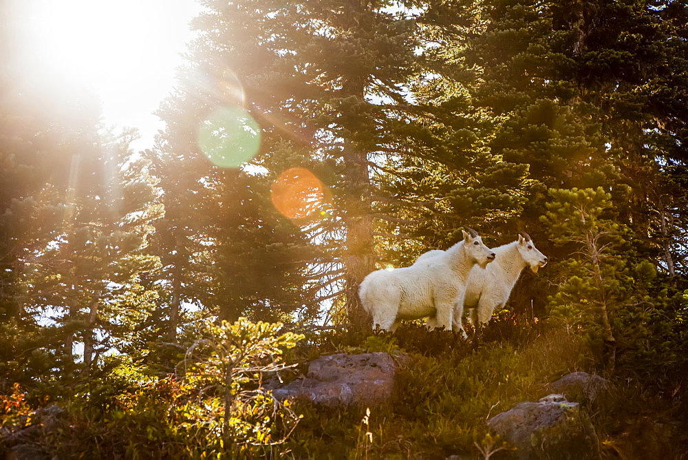 Mountain goats (Oreamnos americanus) backlit by sun, High Divide Trail, Olympic National Park, Washington, United States of America