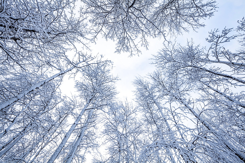 Snow-covered leafless trees in winter with blue sky peeking through clouds, Thunder Bay, Ontario, Canada