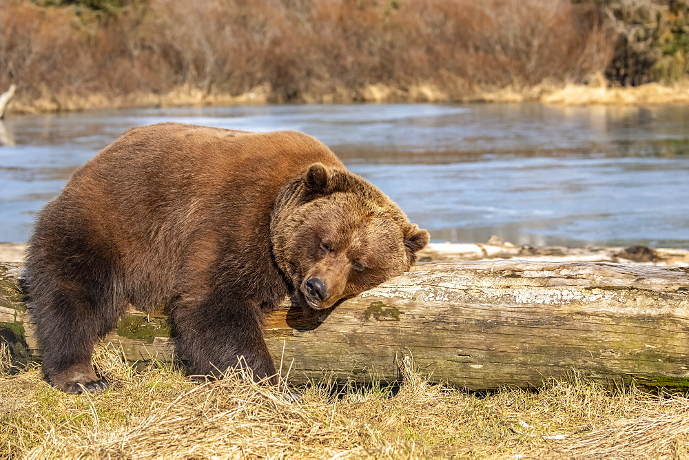 A captive female Brown bear (Ursus arctos) rests and sleeps on a driftwood log at the Alaska Wildlife Conservation Center with a pond in the background, South-central Alaska, Portage, Alaska, United States of America