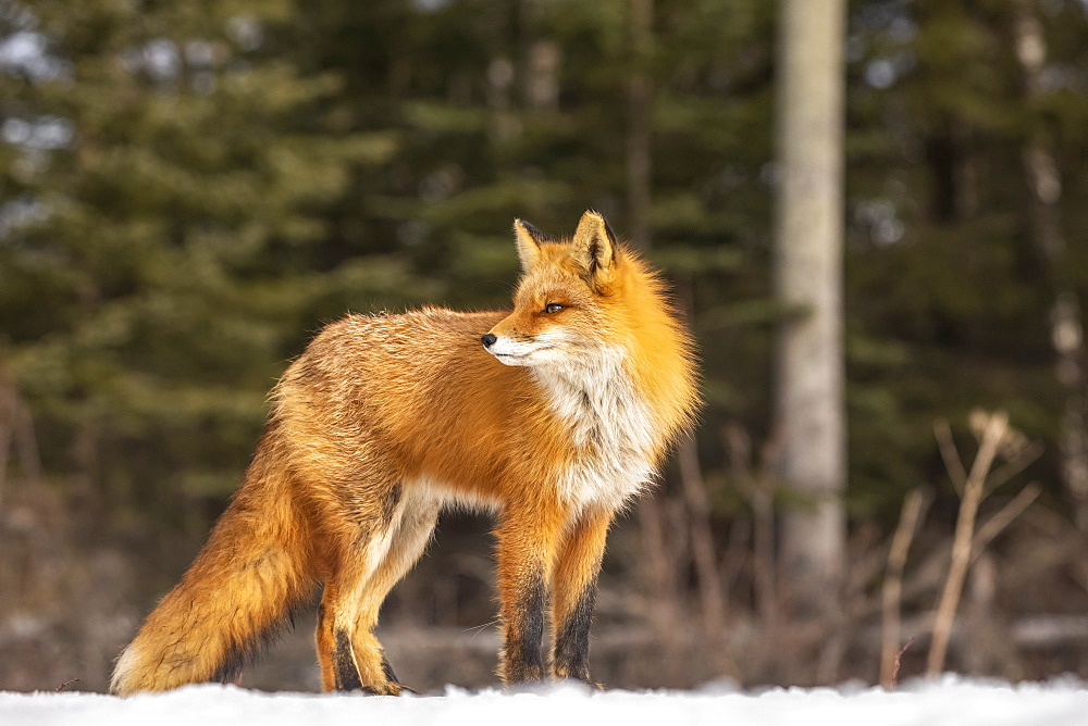 Red fox (Vulpes vulpes) standing in the snow. Fox family was often seen here near Campbell Creek and traveling on the city bike trail, Alaska, United States of America