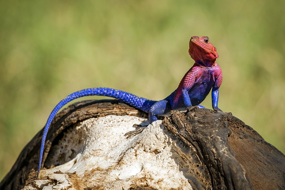 Close-up of Spider-Man agama (Agama mwanzae) on buffalo skull, Serengeti National Park, Tanzania