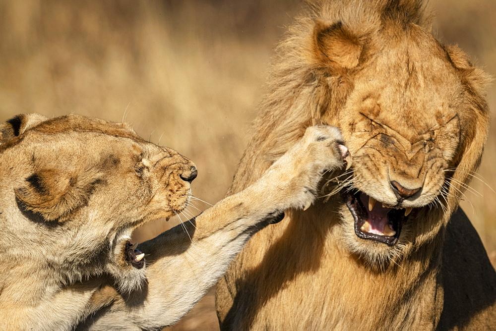 Close-up of lioness (Panthera leo) slapping male with paw, Serengeti National Park, Tanzania