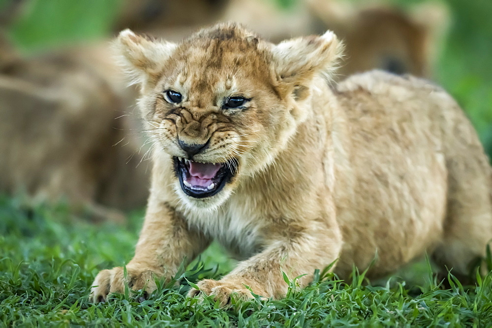 Close-up of lion (Panthera leo) cub growling on grass, Serengeti National Park, Tanzania