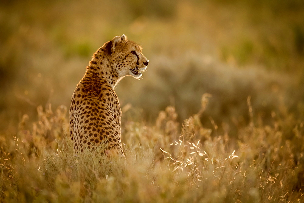 Female cheetah (Acinonyx jubatu) sits in grass facing right, Serengeti National Park, Tanzania