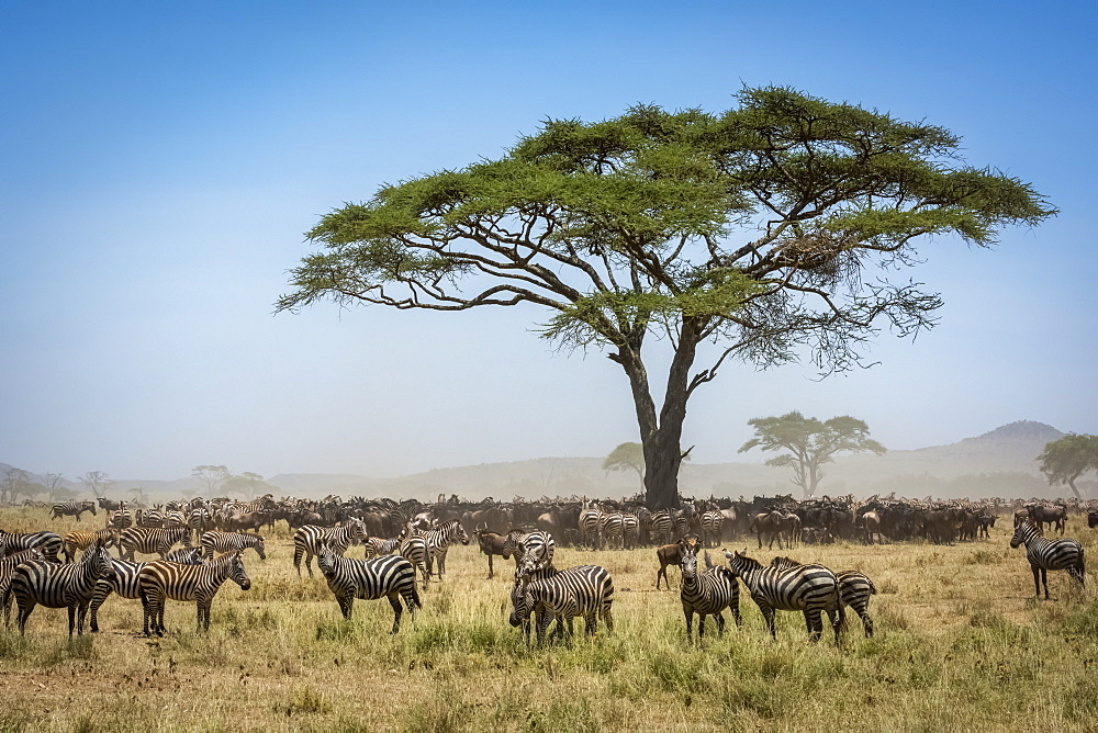 Confusion of Blue wildebeest (Connochaetes taurinus) standing under acacia with a herd of Plains zebra (Equus quagga) close by, Serengeti National Park, Tanzania