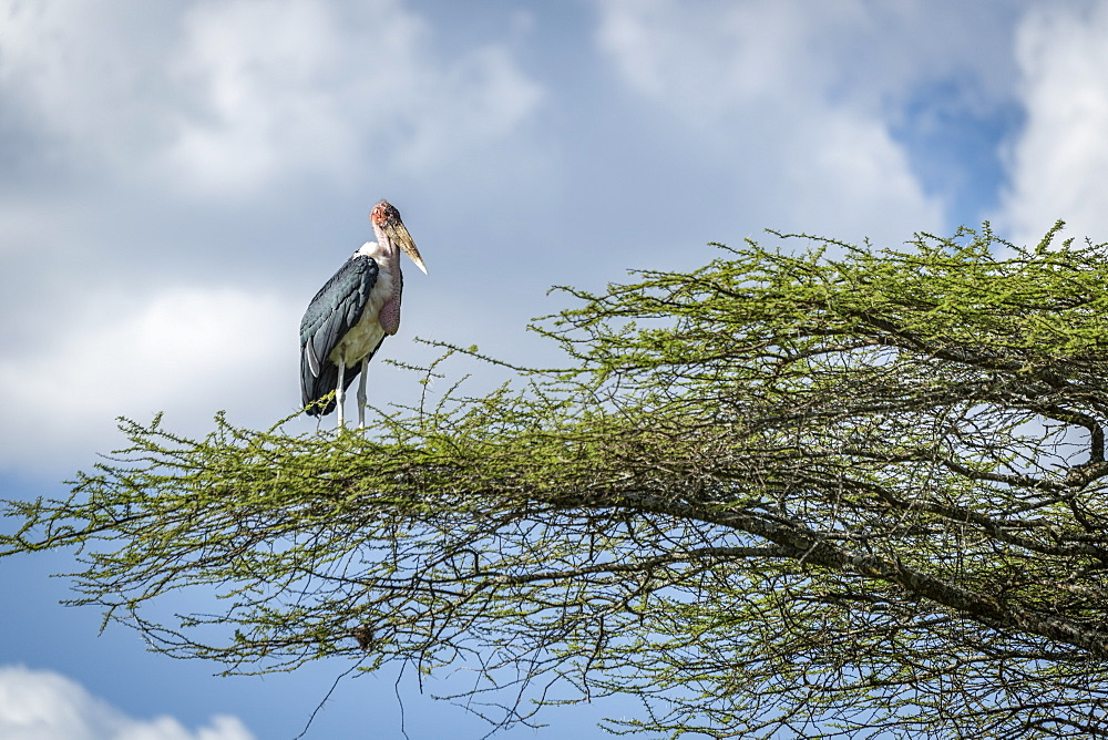 Marabou stork (Leptoptilos crumenifer) stands facing right on branch, Serengeti National Park, Tanzania