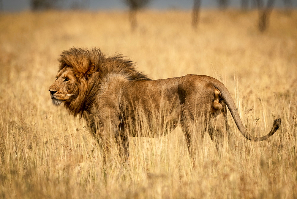 Male lion (Panthera Leo) stands in profile in grass, Serengeti National Park, Tanzania