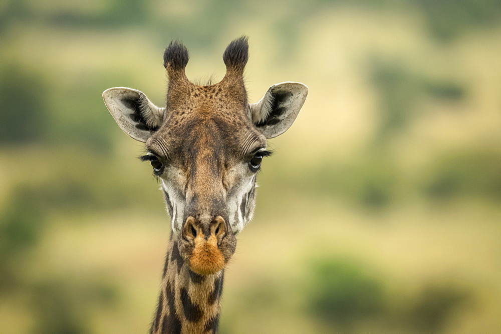 Close-up of Masai giraffe (Giraffa camelopardalis tippelskirchii) head in savannah, Serengeti National Park, Tanzania